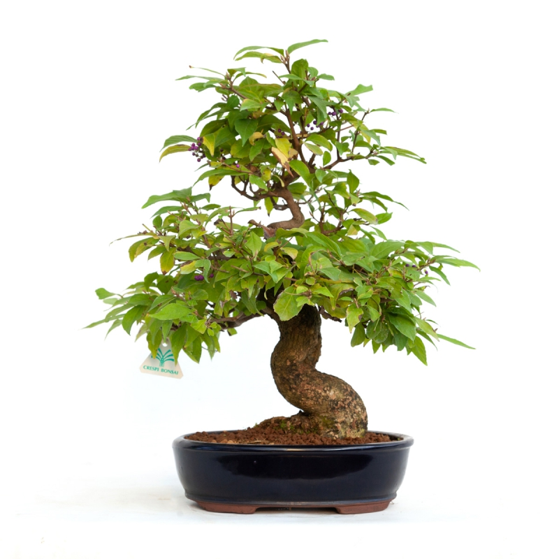 Callicarpa japonica - 47 cm