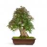 Acer palmatum viridis - maple - 51 cm