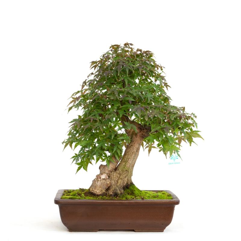 Acer palmatum viridis - érable - 51 cm