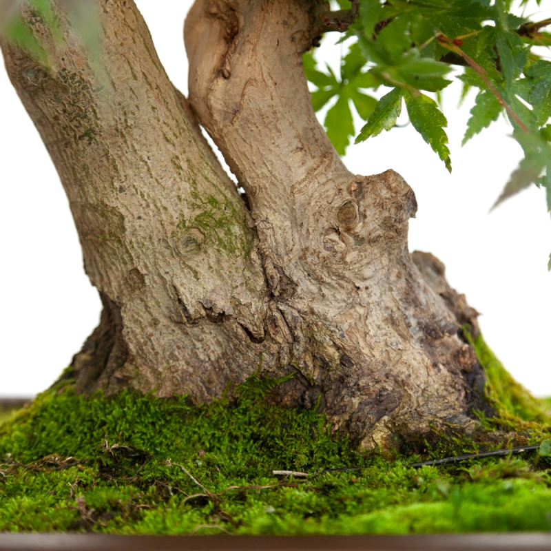 Acer palmatum viridis - acero - 51 cm