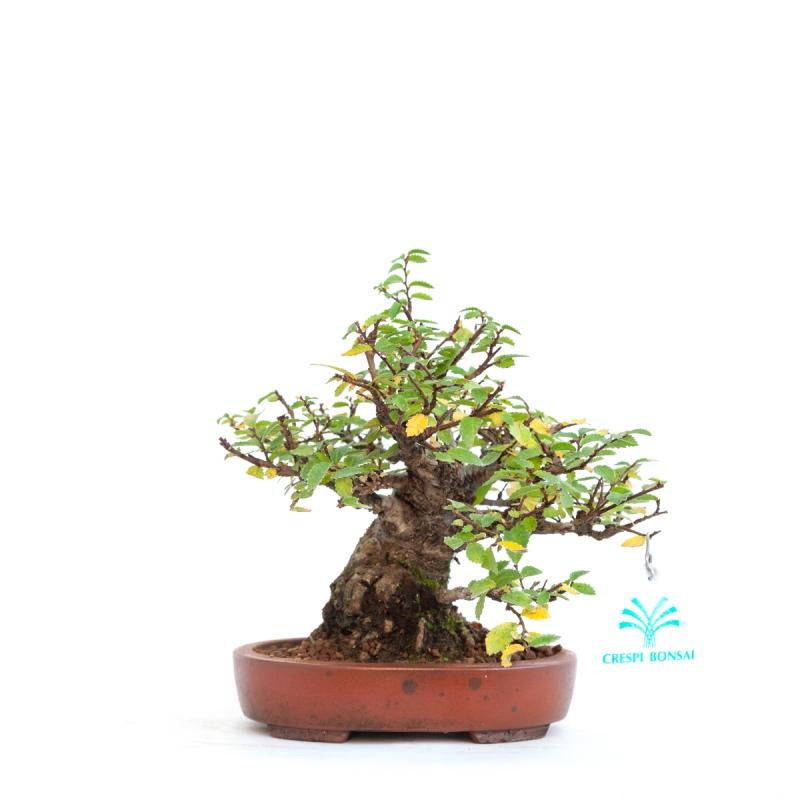 Ulmus parviflora - 18 cm