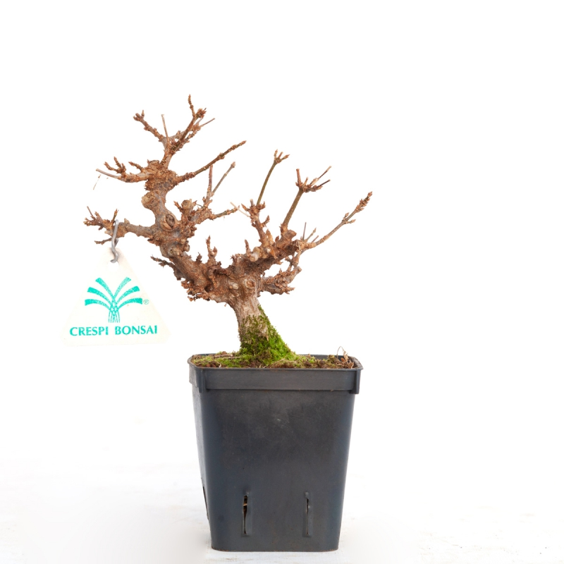 Acer buergerianum - érable - 20 cm