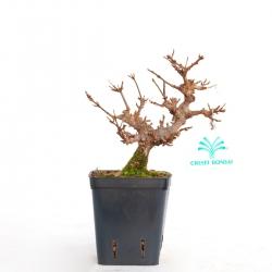 Acer buergerianum - acero - 20 cm