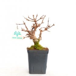 Acer buergerianum - maple - 20 cm