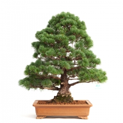 Pinus pentaphylla - Pin - 60 cm