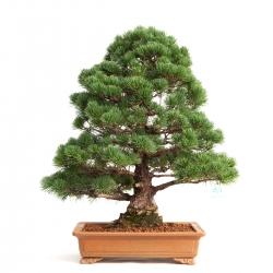 Pinus pentaphylla - Pine - 60 cm