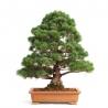 Pinus pentaphylla  - Pino - 60 cm