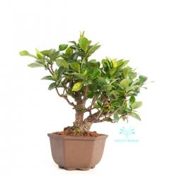 Gardenia jasminoides - 20 cm