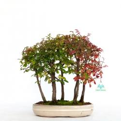 Ulmus parvifolia - 33 cm
