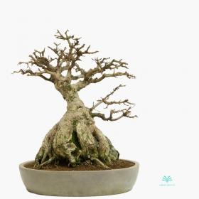 Acer buergerianum - acero - 44 cm
