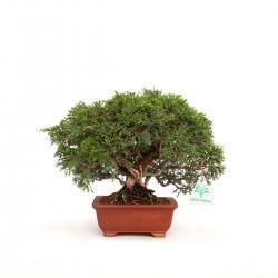 Juniperus chinensis - Ginepro - 21 cm