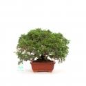 Juniperus chinensis - Genévrier de Chine - 21 cm