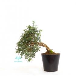 Jasminum nudiflorum - 23 cm