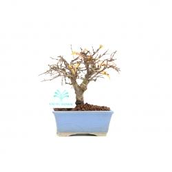 Zelkova serrata - Olmo - 13 cm