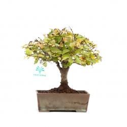 Zelkova serrata - Elm - 22 cm