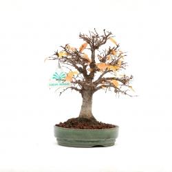 Zelkova serrata - Olmo - 18 cm