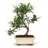Gardenia - 28 cm