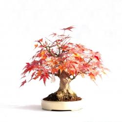 Acer palmatum viridis - maple - 23 cm