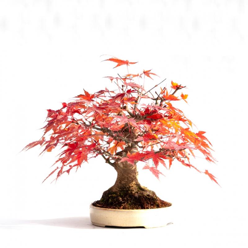 Acer palmatum viridis - acero - 23 cm
