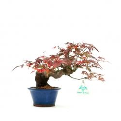 Acer palmatum Viridis - érable - 22 cm