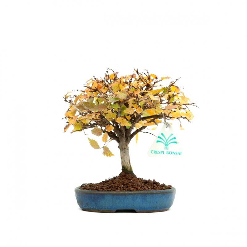 Zelkova serrata - Elm - 15 cm