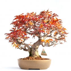 Acer palmatum shishigashira - acero - 30 cm