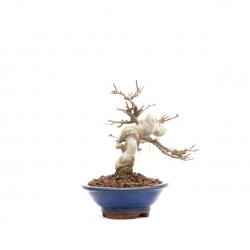 Acer buergerianum - érable - 18 cm