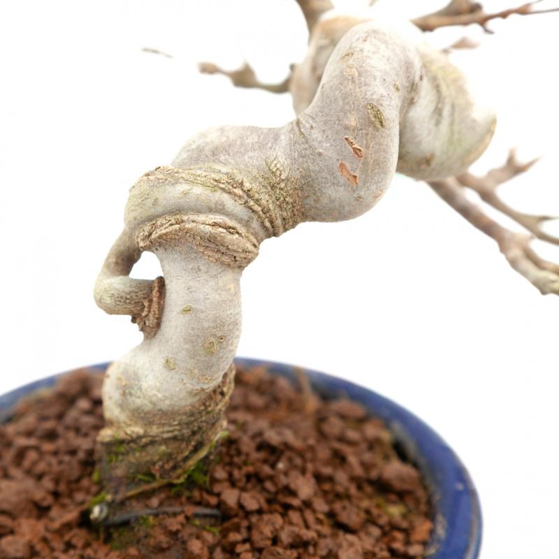 Acer buergerianum - maple - 18 cm
