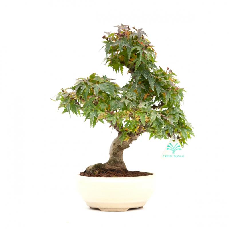 Acer palmatum Kotohime - Acero - 30 cm