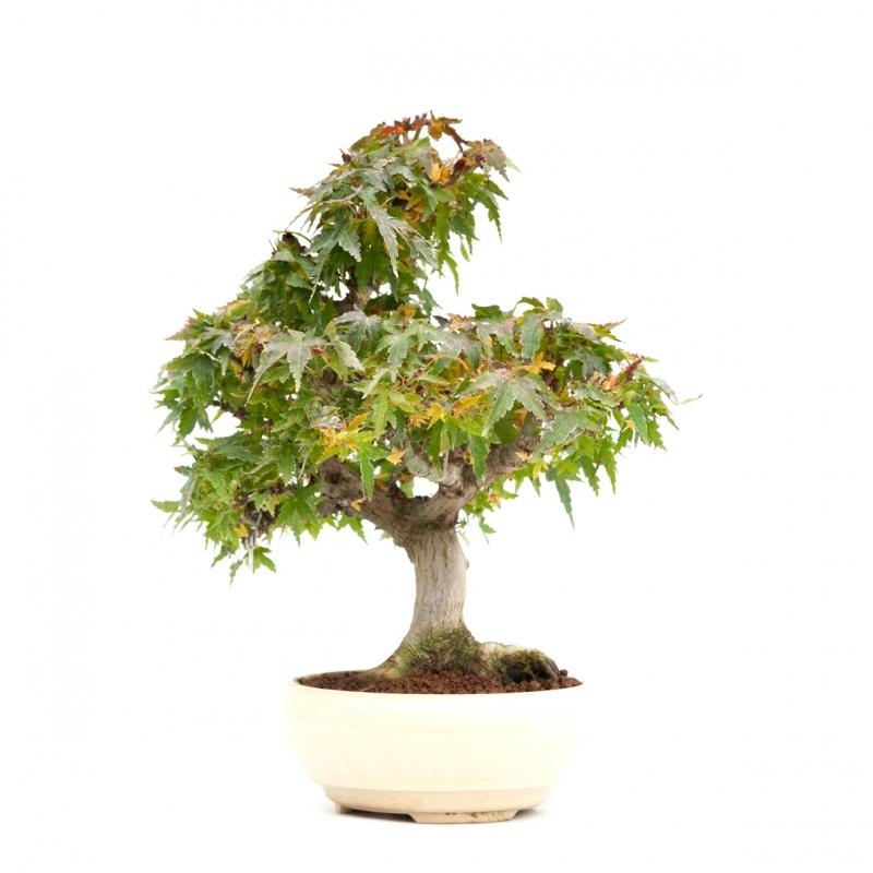 Acer palmatum Kotohime - Maple - 30 cm