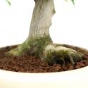 Acer palmatum Kotohime - Érable - 30 cm