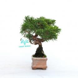 Juniperus chinensis - 17 cm