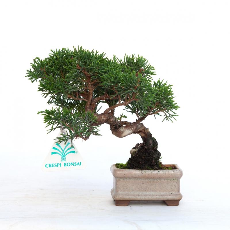 Juniperus chinensis - Ginepro - 17 cm
