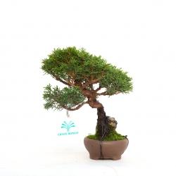 Juniperus chinensis - 18 cm