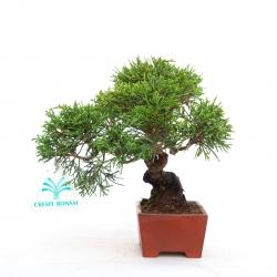 Juniperus chinensis - Genévrier de Chine - 16 cm