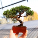 Juniperus chinensis - Juniper - 16 cm