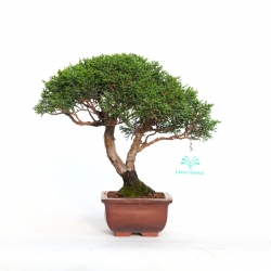 Juniperus chinensis - Ginepro - 22 cm