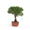 Juniperus chinensis - Genévrier de Chine - 22 cm