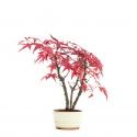 Acer palmatum viridis - acero - 25 cm