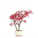 Acer palmatum viridis - érable - 25 cm