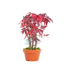 Acer palmatum viridis - acero - 20 cm