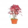 Acer palmatum viridis - maple - 20 cm