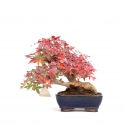 Acer palmatum - acero - 23 cm