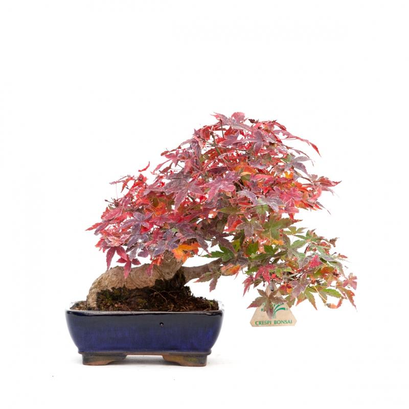 Acer palmatum - maple - 23 cm