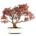 Acer palmatum shishigashira - érable - 37 cm