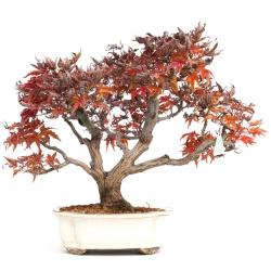 Acer palmatum shishigashira - maple - 37 cm