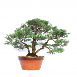 Tsuga japonica - 65 cm