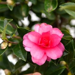 Camellia - 70 cm