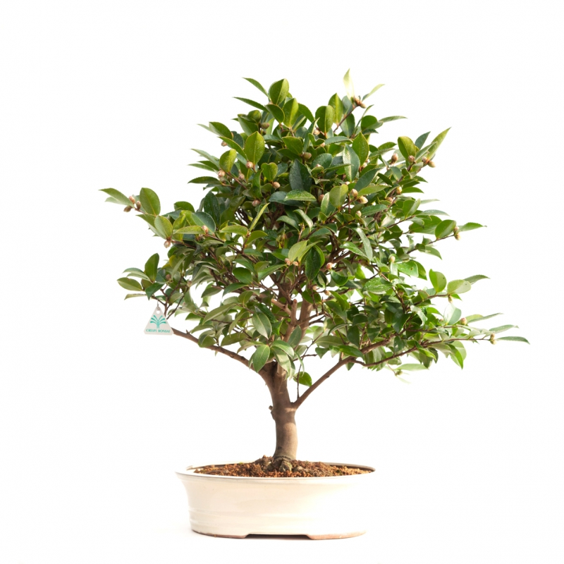 Camellia - 64 cm