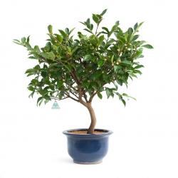 Camellia - 65 cm